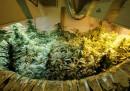Marijuana SpA