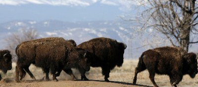 I bisonti di Ted Turner