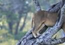 Spiegalo ai Masai, che i leoni vanno protetti