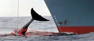 Al voto sulla caccia alle balene