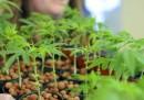 Approvato in Gran Bretagna il farmaco a base di cannabis