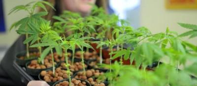 L'industria della marijuana