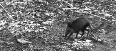 Scoperto un nuovo toporagno elefante