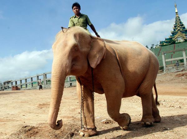 Gli elefanti bianchi di myanmar il post - Elefante foglio di colore dell elefante ...
