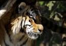 Si è aperto in Russia il summit per le tigri