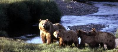I grizzly pigri e obesi del Montana