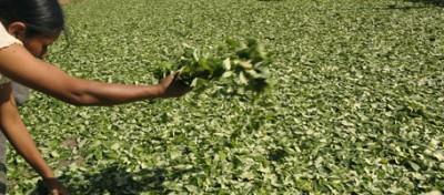La guerra alle foglie di coca