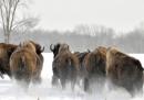 In Montana c'è un problema coi bisonti