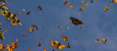 La migrazione delle farfalle in Messico
