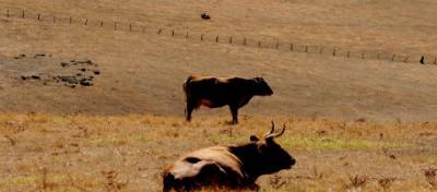 La battaglia per le mucche