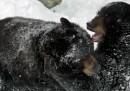 Il letargo dell'orso nero