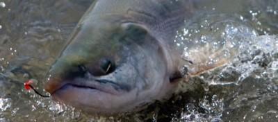 L'estinzione dei salmoni scozzesi