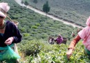 Lo sciopero del tè in Darjeeling
