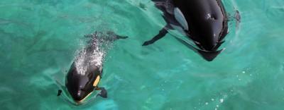 L'orca neonata di Antibes