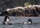 I delfini bloccati in Scozia