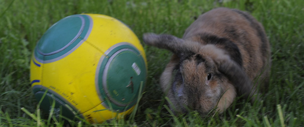 A domestic rabbit (or Lop) 4 years old,