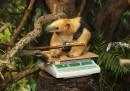 La pesa annuale allo zoo di Londra