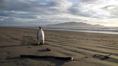Il ritorno del pinguino che si era perso
