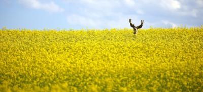 Il cervo nella colza