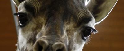 Occhi di giraffa