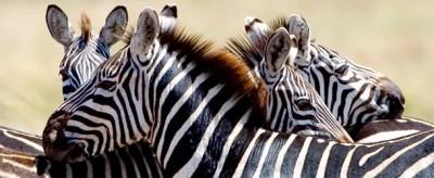 Perché le zebre sono a strisce?