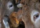 La guerra sulla carne bovina