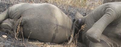 Il massacro degli elefanti in Camerun