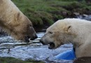 Gli orsi polari in Scozia