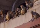 Le scimmie a Delhi