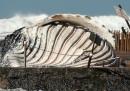 Le foto della megattera spiaggiata in Australia