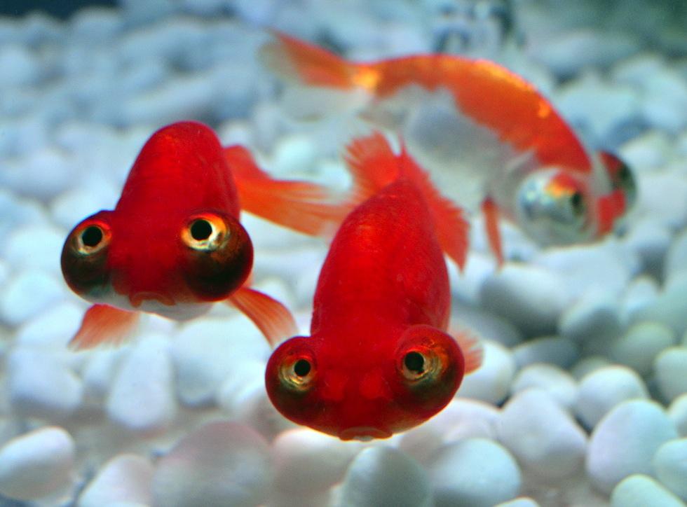 La delusione del pesce rosso il post for Pesce rosso butterfly