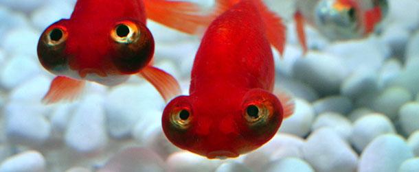 La delusione del pesce rosso il post for Pesce rosso costo