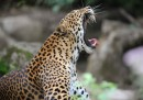 Leopardo dello Sri Lanka