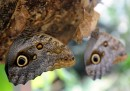 Farfalle gufo