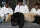 La visita medica del panda