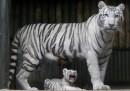 Tigre bianca indiana