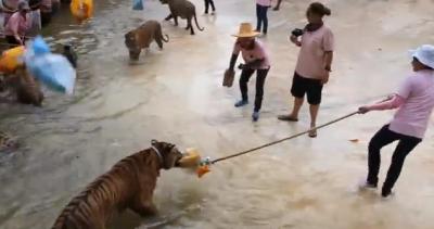 Non provocare le tigri