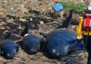 Il salvataggio delle balene in Scozia