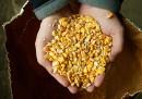 Sull'allarmismo contro gli OGM