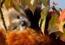 Si sta come d'autunno il panda rosso