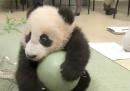 Il cucciolo di panda dello zoo di San Diego e la sua palla verde