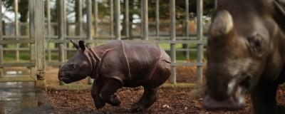 Un rinoceronte di quattro settimane