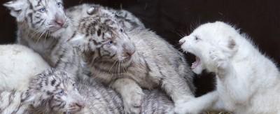 Quattro leoni e quattro tigri in Germania
