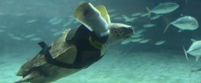 La tartaruga con le protesi in Giappone