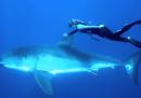 Nuotata con squalo bianco
