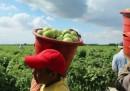 La raccolta dei pomodori in Florida