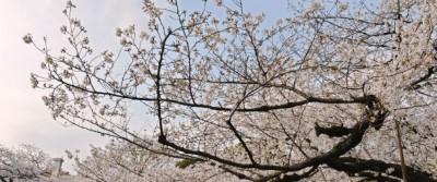 I ciliegi in fiore del Giappone