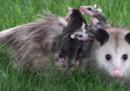La guerra ai mammiferi in Nuova Zelanda