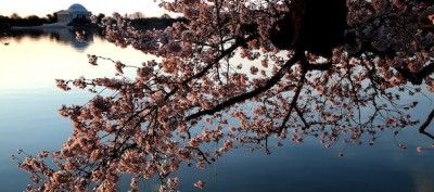 La fioritura dei ciliegi a Washington