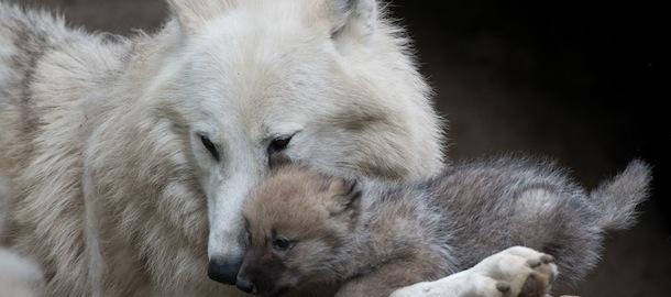Una famiglia di lupi polari a berlino foto il post for Disegni di lupi da colorare